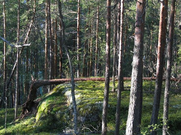 Forest in Finland.