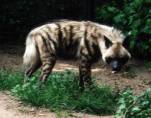 Striped_Hyena